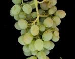 Виноград Кокур белый