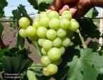 Виноград Колобок