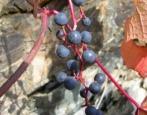 Виноград Куанье