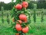 Колоновидная яблоня Кумир