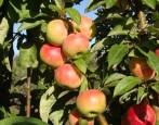 Колоновидная яблоня Луч