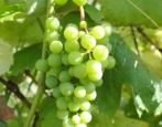 Виноград Любава