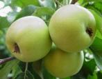 Яблоня Любава