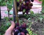 Виноград Надежда ранняя