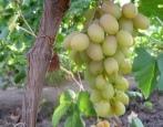 Виноград Нельсон