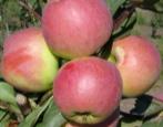 Яблоня Осенняя радость