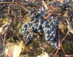 Виноград Первенец Амура