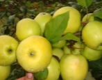 Яблоня Подарок осени