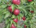 Колоновидная яблоня Поэзия
