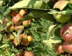 Колоновидная яблоня Приокское