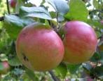 Яблоня Приземленное