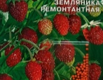 Земляника Сашенька