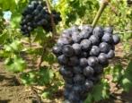 Виноград Шарада UA