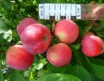 Яблоня Смуглянка