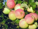 Яблоня Толунай