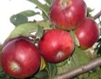 Колоновидная яблоня Триумф