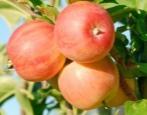 Яблоня Уральское Розовое