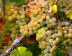 Виноград Вердехо