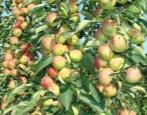 Колоновидная яблоня Зеленый Шум