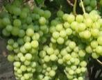 Виноград Жемчуг Сабо