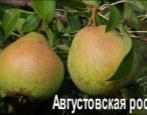 Груша Августовская роса