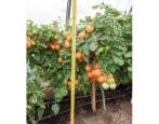 Томат Оранжевый земледелец