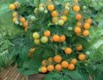 Томат Оранжевая шапочка