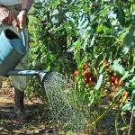 tomat-poliv-1-obshchaya-statya.jpg