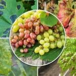 vinograd-bolezni-i-vrediteli-4.jpg