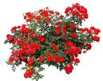 Кустовые розы: сорта и правила ухода