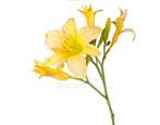 Лилейник: описание видов и сортов, секреты выращивания