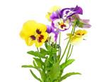 Виола: описание, виды и выращивание