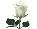 Все о белых розах