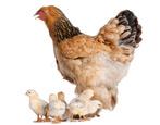 Куры брама: описание породы и выращивание