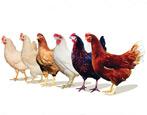 Какие бывают породы кур?