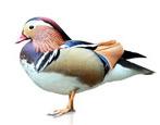 Утка-мандаринка: описание и образ жизни