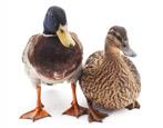 Утка: описание птиц и выращивание в домашних условиях